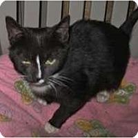 Adopt A Pet :: Amelia - Shelton, WA