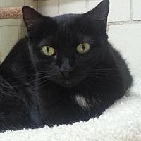 Domestic Shorthair Cat for adoption in Lago Vista, Texas - Vixen