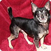 Adopt A Pet :: Brownie - Va Beach, VA