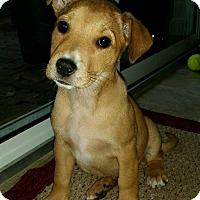 Adopt A Pet :: Siofra - Gainesville, FL