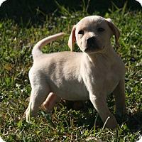 Adopt A Pet :: Perignon - Destrehan, LA