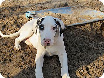 Great Dane Dog for adoption in Raleigh, North Carolina - Goose