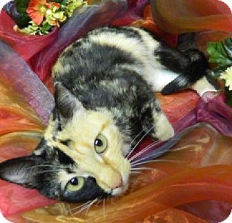 Domestic Shorthair Cat for adoption in Columbus, Nebraska - Bristol