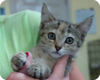 Domestic Shorthair Kitten for adoption in Greenfield, Indiana - Gigi