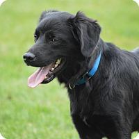 Labrador Retriever Mix Dog for adoption in Brattleboro, Vermont - George