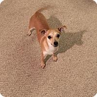 Adopt A Pet :: Cody, A Poodle-Keeshond mix - Arlington, WA