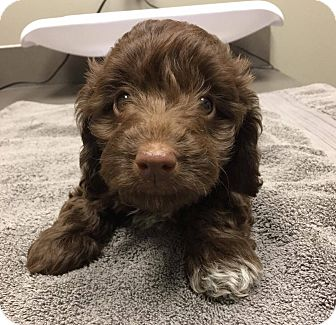 Terrier (Unknown Type, Small) Mix Puppy for adoption in Fort Atkinson, Wisconsin - Roux