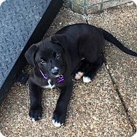 Adopt A Pet :: Bailey - Brattleboro, VT