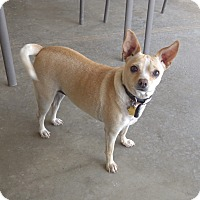 Chihuahua Mix Dog for adoption in Quail Valley, California - Twinkle Toes