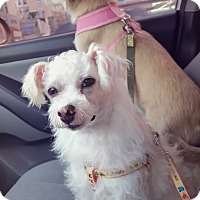Terrier (Unknown Type, Small)/Maltese Mix Dog for adoption in Fairfax, Virginia - Chico