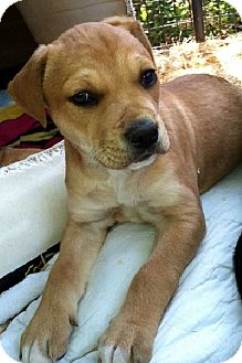Shepherd (Unknown Type) Mix Puppy for adoption in Manchester, Connecticut - BURNELL meet me 5/17