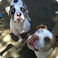 Adopt A Pet :: Blue eyed Mom and daughter URG - Sacramento, CA