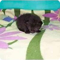 Adopt A Pet :: Puma - Secaucus, NJ