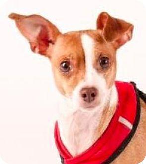 Chihuahua Mix Dog for adoption in San Ramon, California - Nana