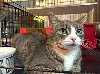 Domestic Shorthair Cat for adoption in East Stroudsburg, Pennsylvania - MeowMeow