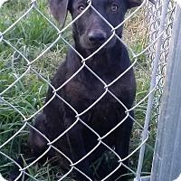 Adopt A Pet :: Dobie - Waller, TX