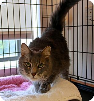 Maine Coon Cat for adoption in Gloucester, Massachusetts - Mister