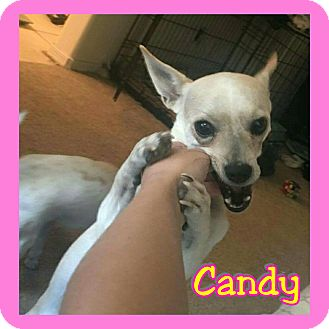 Chihuahua Mix Dog for adoption in Mesa, Arizona - Candy