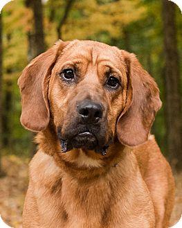 Bloodhound/Basset Hound Mix Dog for adoption in Cincinnati, Ohio - Carson