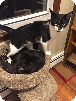 Domestic Shorthair Kitten for adoption in Plainville, Massachusetts - Prince
