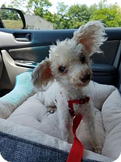 Poodle (Miniature) Dog for adoption in Wilmington, Massachusetts - Buttercup: Little Ballarina PA
