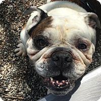Adopt A Pet :: Beezie - Santa Ana, CA