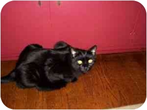 Domestic Shorthair Cat for adoption in North Plainfield, New Jersey - Albert
