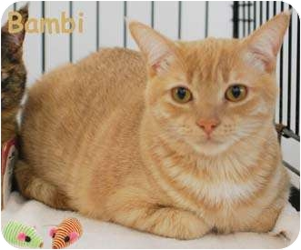 Domestic Shorthair Cat for adoption in Merrifield, Virginia - Bambi
