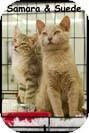 Domestic Shorthair Kitten for adoption in Merrifield, Virginia - Suede & Samara