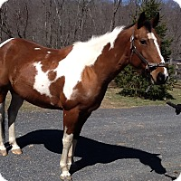 Paint/Pinto/Quarterhorse Mix for adoption in Saugerties, New York - Lissa