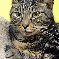 Domestic Shorthair Cat for adoption in Atlanta, Georgia - Pluto 7348