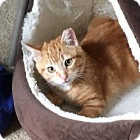 Adopt A Pet :: Gizmo - Alamo, CA