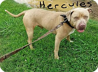 Pit Bull Terrier Mix Dog for adoption in Lawrenceburg, Tennessee - Hercules