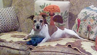 Jack Russell Terrier Dog for adoption in Blue Bell, Pennsylvania - Renny