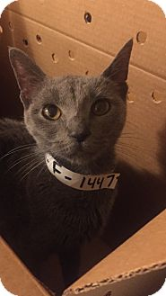 Russian Blue Kitten for adoption in Palisades Park, New Jersey - Skye