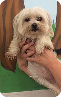 Maltese/Shih Tzu Mix Dog for adoption in Oak Ridge, New Jersey - Samantha