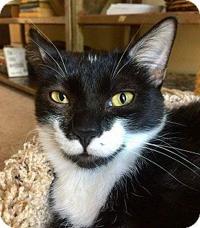 Domestic Shorthair Kitten for adoption in Edmond, Oklahoma - Jimmy Gooch