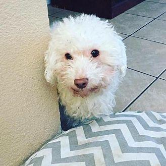 Poodle (Miniature) Dog for adoption in Tucson, Arizona - Dino
