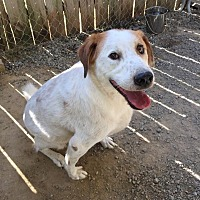 Beagle/Spaniel (Unknown Type) Mix Dog for adoption in Barnwell, South Carolina - Patches (2)