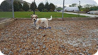 Shih Tzu/Terrier (Unknown Type, Small) Mix Dog for adoption in Frankfort, Illinois - Barney