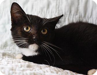 Domestic Mediumhair Kitten for adoption in Mayflower, Arkansas - Abby