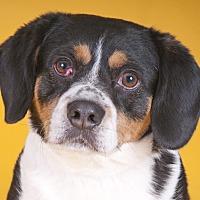 Adopt A Pet :: Robin - Chicago, IL