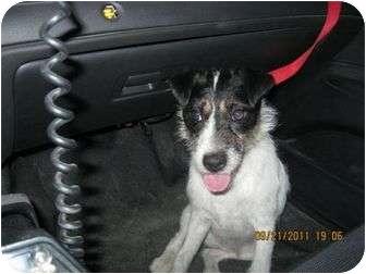 Jack Russell Terrier Mix Dog for adoption in Omaha, Nebraska - Sneakers