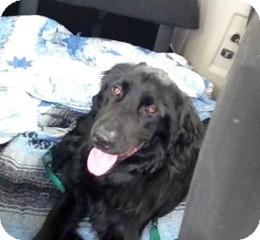 Flat-Coated Retriever Mix Dog for adoption in Danbury, Connecticut - Tigger