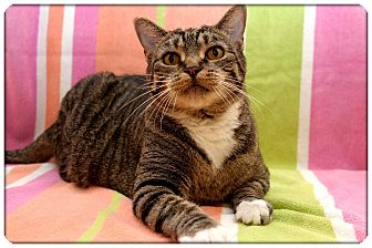 Domestic Shorthair Cat for adoption in Sterling Heights, Michigan - Louise - ADOPTED!