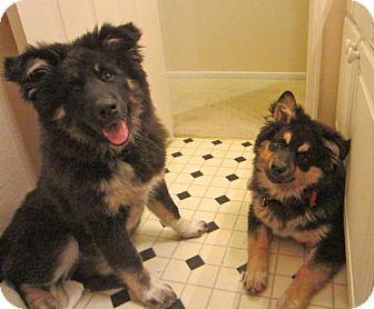 Tibetan Mastiff Mix Puppy for adoption in Atascadero, California - Dude