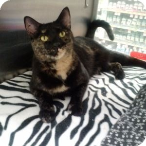 Domestic Shorthair Cat for adoption in Gilbert, Arizona - Ava