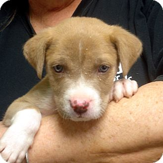 American Staffordshire Terrier Puppy for adoption in Greencastle, North Carolina - Poopsey