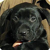 Adopt A Pet :: Baby Chunk - Oakley, CA