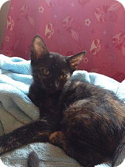 Domestic Shorthair Kitten for adoption in Mesa, Arizona - Brie